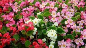 Cum se îngrijeşte corect begonia. Sfaturi pentru a face flori tot anul