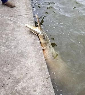 Peștele-aligator