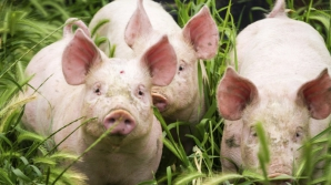 Focar de pestă porcină într-o comună din Olt: 13 porci, sacrificați