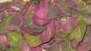 Loboda, planta care detoxifică organismul şi curăţă sângele. Cum să o găteşti ca un chef