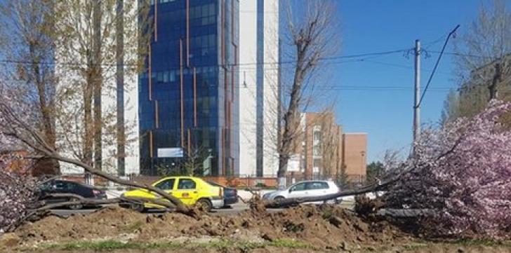 Primaria scoate copacii înfloriți de pe un bulevard important al Capitalei. Ce va face cu ei / Foto: Captură Facebook