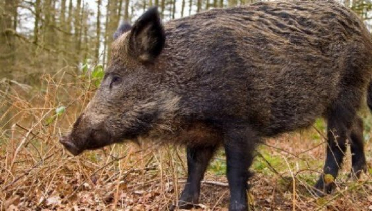 Al șaptelea caz de pestă porcină la mistreții din județul Buzău