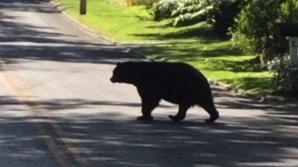 Ursuleț rătăcit și dezorientat, filmat pe străzile din Râșnov