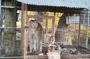 Captivă 7 ani în cușcă și chinuită, maimuța a prins mâna bărbatului. Incredibil ce a urmat!