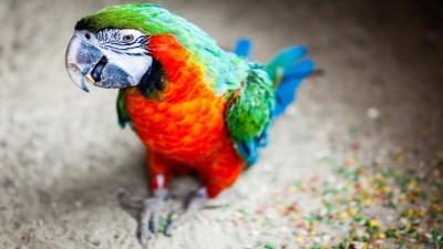 De ce vorbesc papagalii? Cea mai mare dilemă, rezolvată de specialiști!
