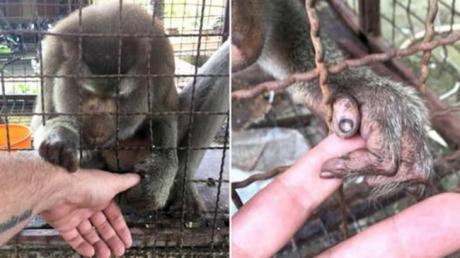 Captivă 7 ani în cușcă și chinuită, maimuța a prins mâna bărbatului. Teribil ce a urmat!