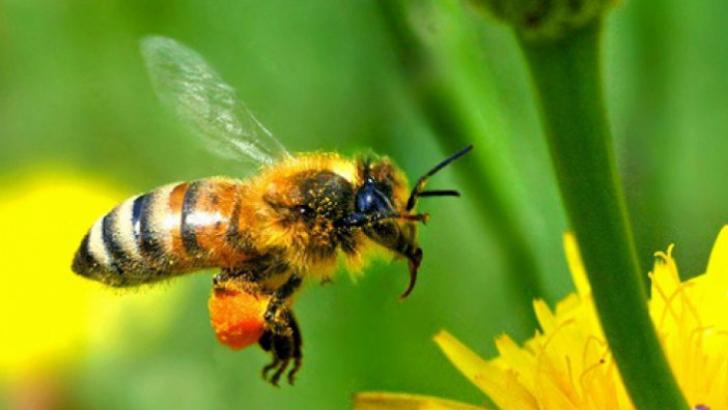 Te-a înţepat o albină? Iată ce trebuie să faci! Evită această mare greşeală