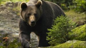 Ucis de urs în Vrancea