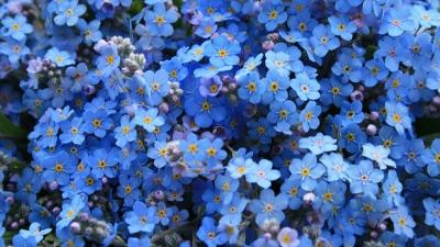 Floarea de Nu-ma-uita - tratamente naturiste