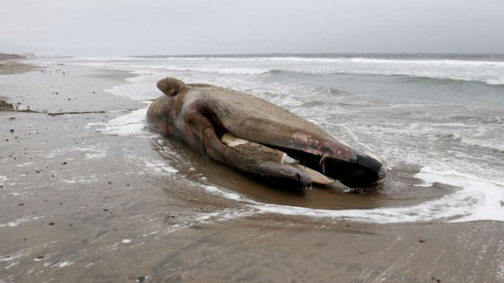Detaliul șocant descoperit în interiorul unei balene