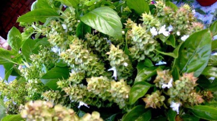 Planta care vindecă sute de boli și o ai în casă. Nu știai până acum ceea ce poate face