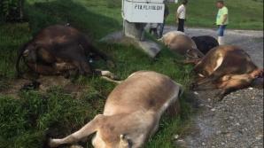 Vaci ucise de fulger