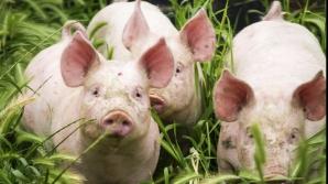 Pesta porcină a revenit la Călărași. S-a găsit un nou focar