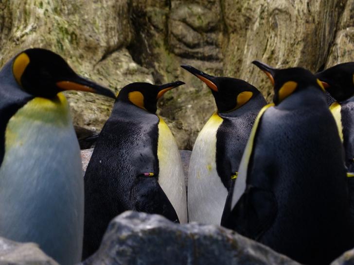 Cum au fost găsiți pinguinii care au rămas ascunși 3.000 de ani