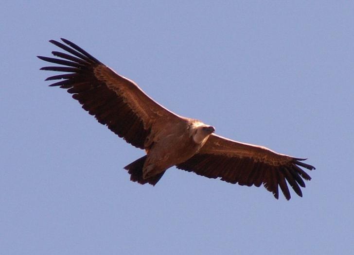 Imagini pentru vultur