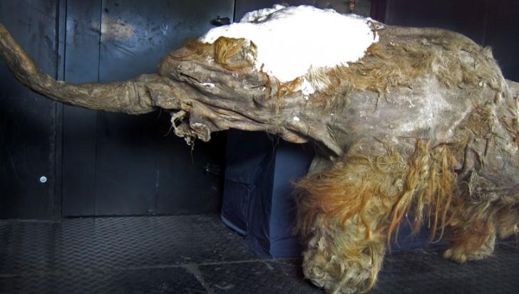 Mamutul readus la viață după aproape 30.000 de ani