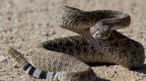 Au tăiat coada unui şarpe cu clopoţei, dar au înghețat când au văzut ce era înăuntru! Înfiorător!