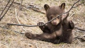 Un pui de urs atât de flămând că nu mai putea să meargă, găsit într-o pădure din Bușteni / Foto:Arhivă