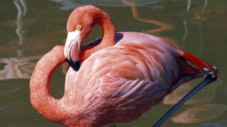 Explicatia stiintifica despre pasarile flamingo: de ce stau intr-un picior