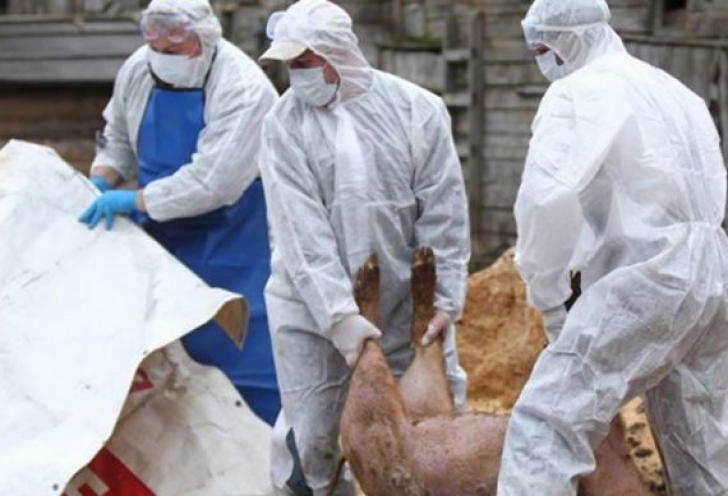 SUTE de focare de pestă porcină africană, ACTIVE în 139 de localităţi din România