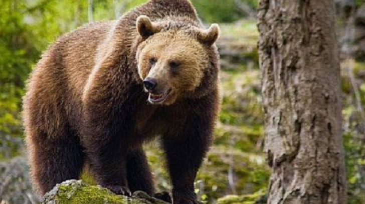 Un vrancean s-a apropiat periculos de mult de un urs, pentru a-l hrani