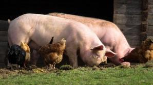 Cooperativele agricole, ajutor de stat pentru sprijinirea creșterii porcilor și păsărilor