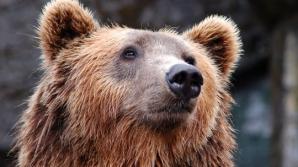 Un urs a murit, după ce a fost lovit de patru mașini, pe autostrada Sibiu-Deva