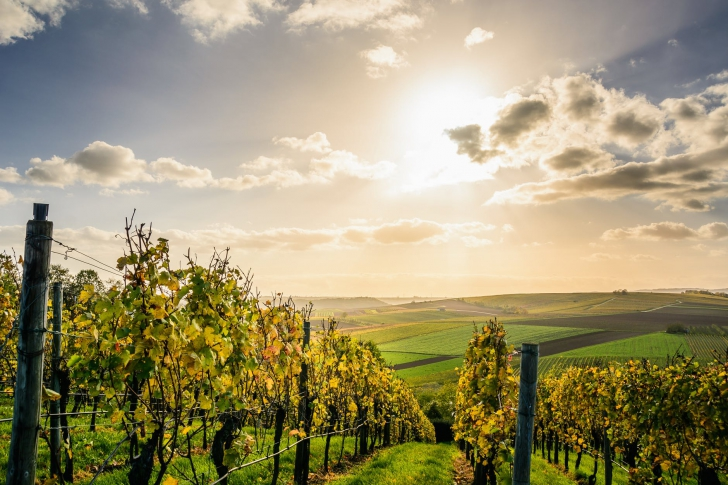 <p>Despre vin, când recoltarea strugurilor este la câteva săptămâni distanţă</p>
