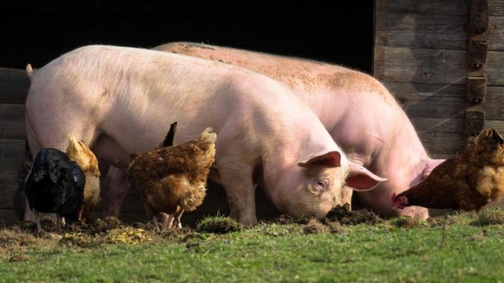 pesta porcina giurgiu