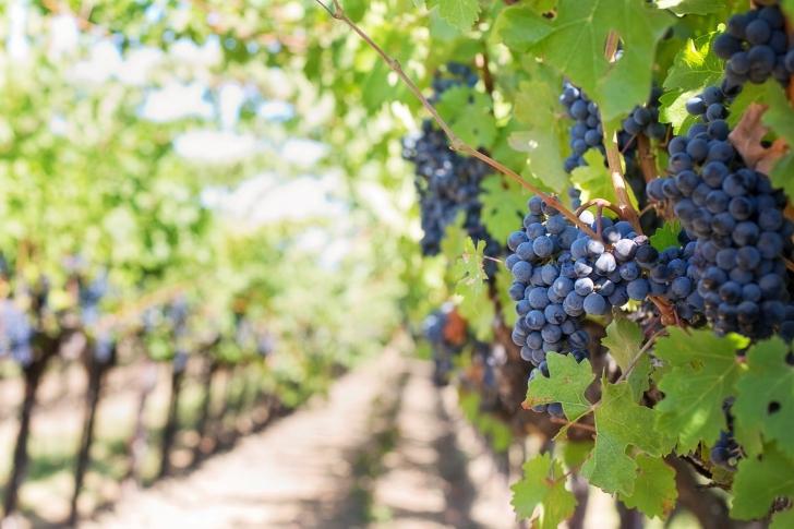Despre vin, când recoltarea strugurilor este la câteva săptămâni distanţă