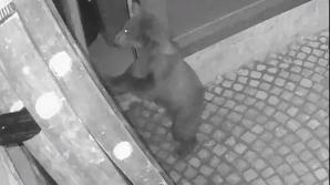 Ursii, atac după mâncare