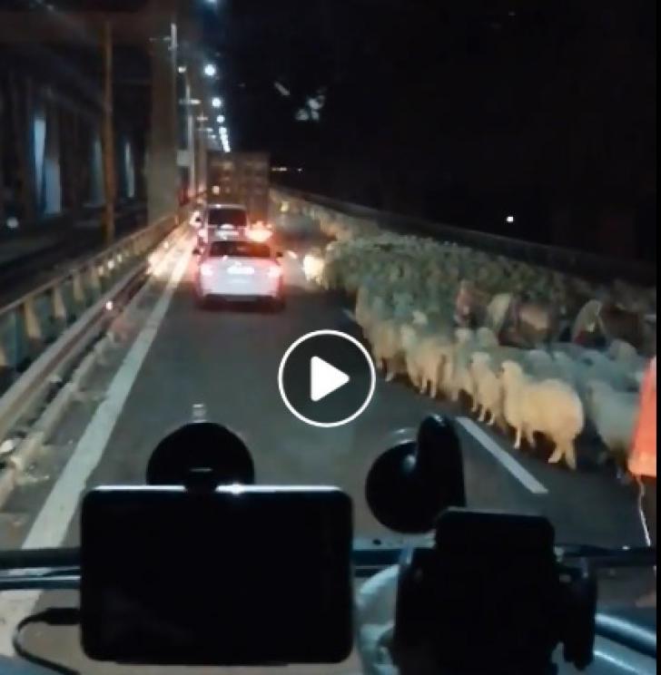 Autostrada blocată de oi