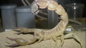 Scorpion cu venin letal