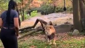 O femeie a pătruns în curtea leilor