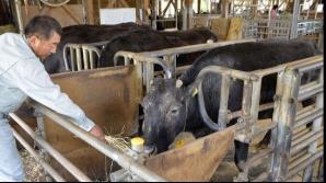 Kaga, prima vacă obținută prin clonare Foto: Agerpres