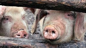 Focar de pestă porcină, confirmat în jud. Covasna. 37 de porci, eutanasiați