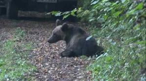 Mobilizare incredibilă pentru salvarea a doi pui de urs, în jud. Buzău
