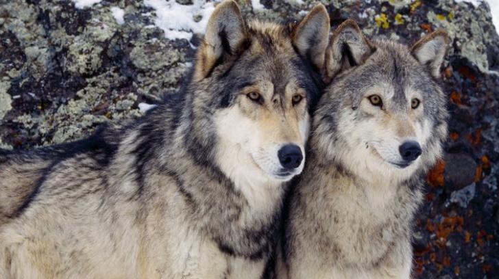 VIDEO incredibil: O căruță urmărită de lupi, în Harghita