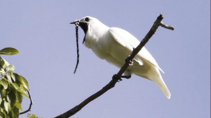 Cele mai gălăgioase păsări din lume