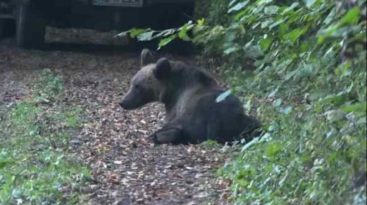 Urs la Sinaia