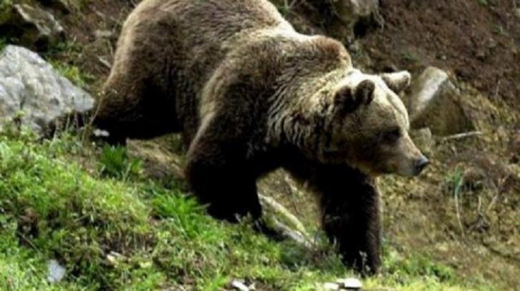 """VIDEO Un urs, la """"plimbare"""" prin centrul orașului Mediaș"""