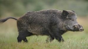 Accident șocant, în Dâmbovița: bărbat rănit grav, după ce un porc mistreț i-a intrat prin parbriz