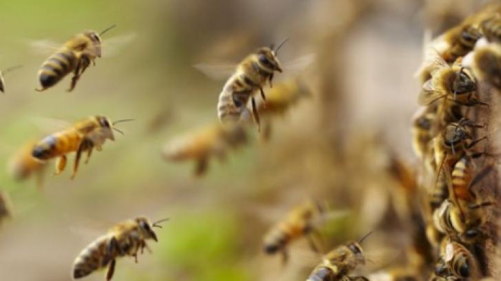 Turistă atacată de un roi de albine sălbatice, în Masivul Ceahlău