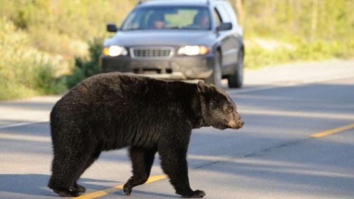 Urs, lovit de mașină