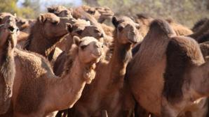 Peste 10.000 de cămile, ucise în Australia, pentru că beau prea multă apă. Foto: Daily Mail