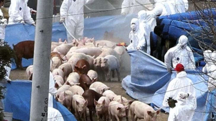 Raport ANSVSA: 626 de focare și 24 de județe cu pestă porcină africană