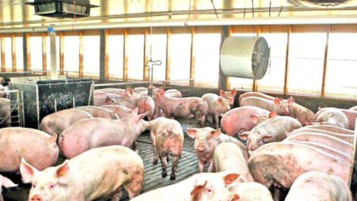Pesta Porcină Africană a ajuns în București