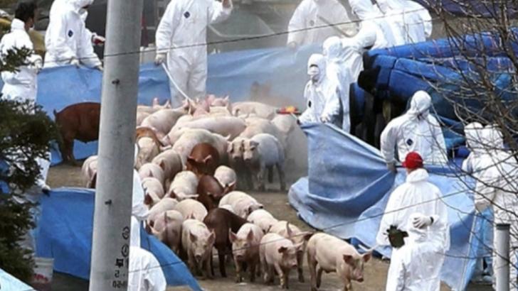 Un nou caz de pestă porcină în județul Covasna. Măsuri de ultim moment