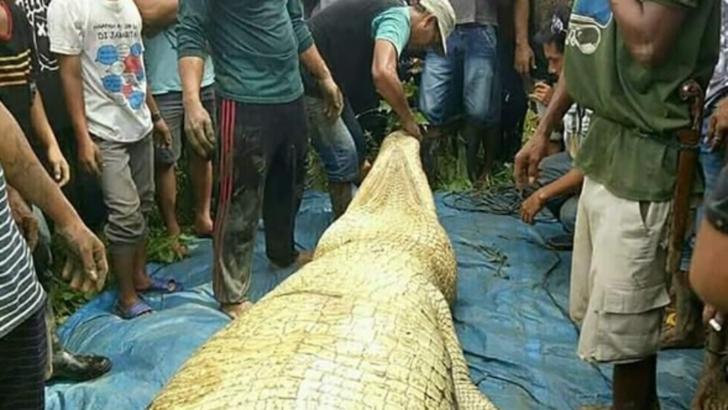 Descoperire înfiorătoare în burta unui crocodil de 7 metri!