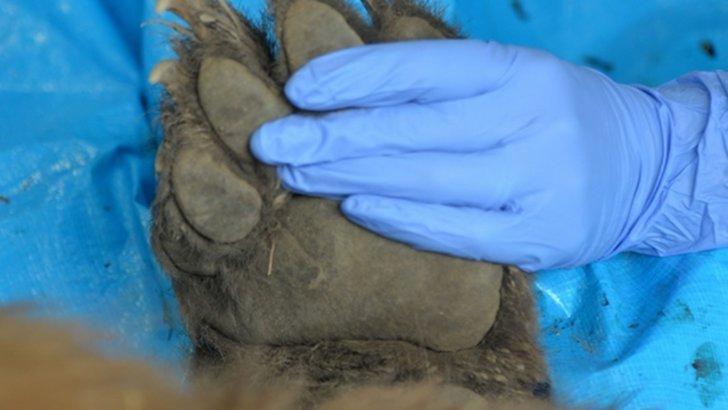 Mamă și fiică, ucise de urs. Rezultatul autopsiei, terifiant: de ce le-a atacat bestia